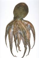 マダコ 蛸