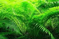 シダ類と原生林
