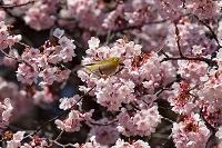 東京都 メジロと寒桜