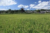奈良県 斑鳩町 田んぼと法起寺