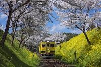 千葉県 菜の花と桜といすみ鉄道 西畑駅~総元駅