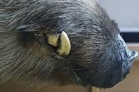 剥製イノシシの牙