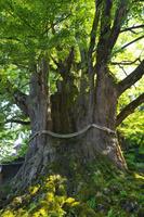 富山県 上日寺のイチョウ