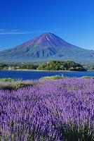 山梨県 ラベンダー咲く大石公園より河口湖と富士山