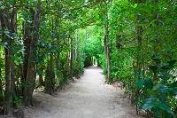沖縄県 備瀬のフク木並木