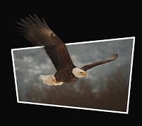 飛び出す鷲イメージ