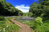 神奈川県 二宮町 せせらぎ公園 菖蒲園