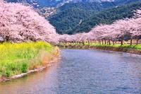 静岡県 那賀川と桜並木