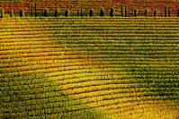 イタリア ドレーニャ・デル・コッリオ 葡萄畑