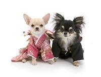 犬2頭と着物