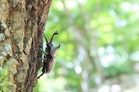 カブトムシとクヌギの森