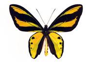 蝶 標本 チトニストリバネアゲハ インドネシア
