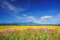 長野県 佐久市 コスモス畑と五郎兵衛米の田園と浅間山と秋空