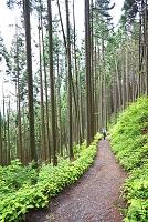 東京都 奥多摩の杉林