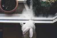 窓際のうさぎ