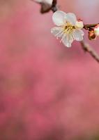 紅梅を背にした白い梅の花