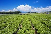 長野県 セロリ畑
