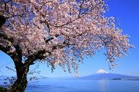 静岡県 西浦 駿河湾越しの富士山と桜