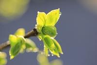 朝露 柿の若葉