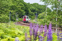 北海道 釧網本線の列車とルピナス
