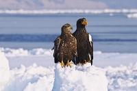 北海道 オオワシと流氷