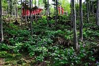 群馬県 片品村 二荒山神社のシラネアオイ(植栽)