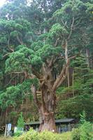 青森県 関の甕杉