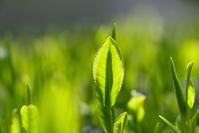 京都府 和束町 茶畑