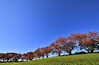 愛知県 紅葉の並木