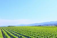 長野県 レタス畑