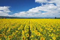 北海道 ヒマワリ畑