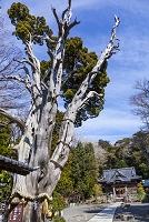 静岡県 白浜神社 薬師の柏槙