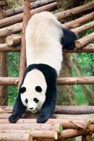 パンダ中国 成都