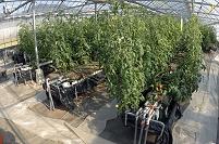 温室栽培 トマト