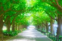 東京都 新緑の神宮外苑イチョウ並木