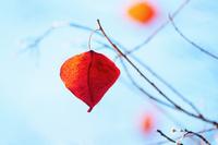 ナンキンハゼの紅葉(青空バック)