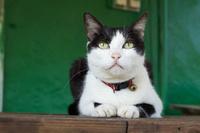 猫村 鈴をつけた黒白猫