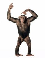 ポーズを取るチンパンジー