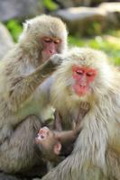 長野県 地獄谷野猿公苑 毛づくろいするニホンザル