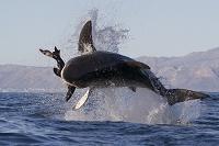 南アフリカ ホオジロザメ