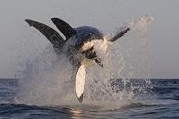南アフリカ共和国 ホオジロザメ