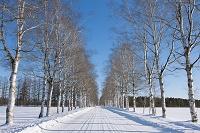 北海道 白樺並木