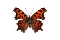蝶 標本 シータテハ 日本
