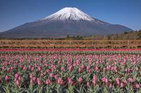 富士山とチューリップ