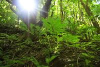 東京都 小笠原諸島 母島 原生林のリュウビンタイモドキ