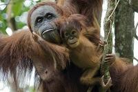 インドネシア スマトラオランウータンの親子