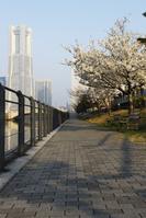 神奈川県 桜の咲く運河沿いの遊歩道と橫浜ランドマークタワー