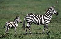アフリカ サバンナシマウマの親子