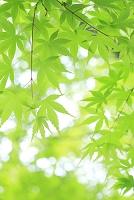 静岡県 新緑のカエデ