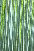 京都府 嵯峨野の竹林